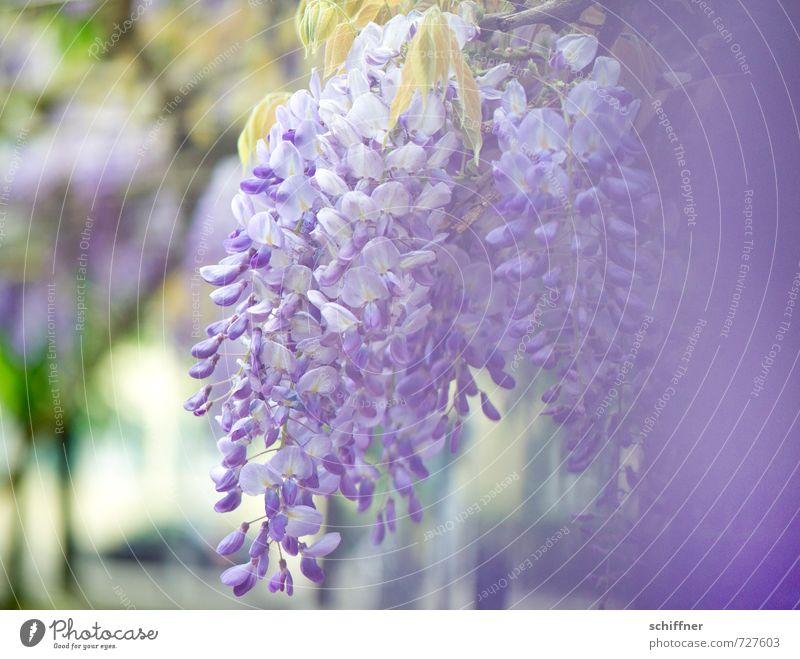 Blauer Regen Umwelt Natur Pflanze Frühling Blume Blüte Garten Park blau violett Blütenknospen Blütenblatt Blütenpflanze Blütenschmetterling Glyzinie