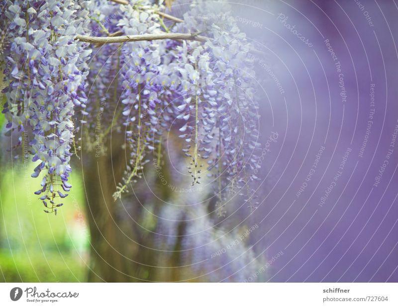 Blauer Regen III Pflanze Frühling Baum Blume Sträucher Blüte blau violett Glyzinie Schwache Tiefenschärfe Blütenknospen Blütenpflanze Blütenstauden Blütenkette