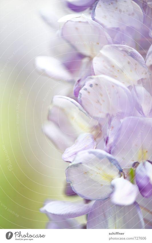 Falscher Flieder Umwelt Natur Pflanze Blume Blüte blau violett Pastellton Glyzinie Blütenknospen Blütenblatt Blütenpflanze Blütenstauden Blütenkette