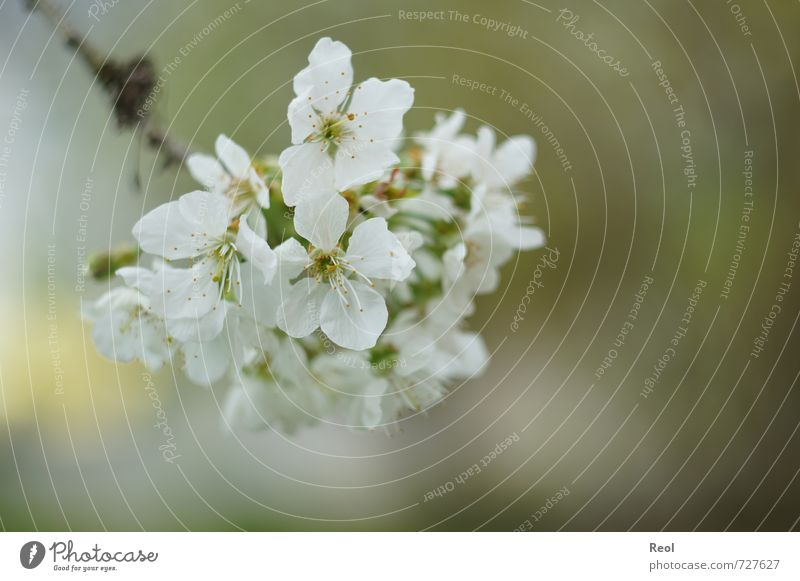 Frühling Kirsche Natur Pflanze Wetter Schönes Wetter Baum Blüte Grünpflanze Nutzpflanze Kirschbaum Kirschblüten Garten Park Wald Blühend verblüht Duft schön