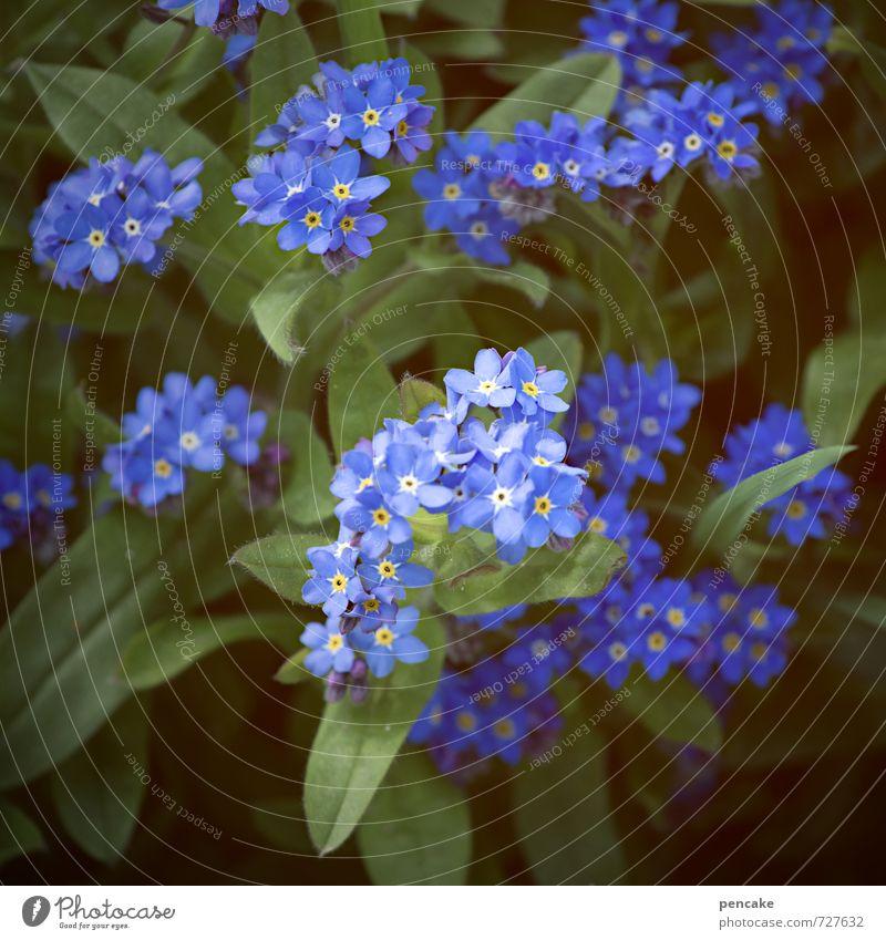 blauäugig Natur Pflanze Frühling Sommer Schönes Wetter Blume Blüte ästhetisch Bekanntheit Freundlichkeit Fröhlichkeit Glück positiv bescheiden vergessen