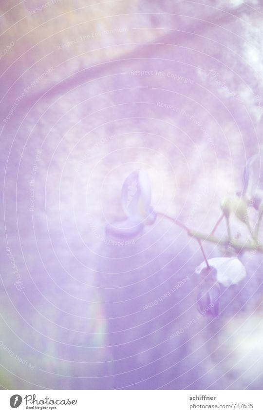 und alles verschwimmt... Pflanze Blüte exotisch Kitsch violett Erholung Gefühle Hoffnung Inspiration Leichtigkeit ruhig Glyzinie Blütenknospen Blütenpflanze