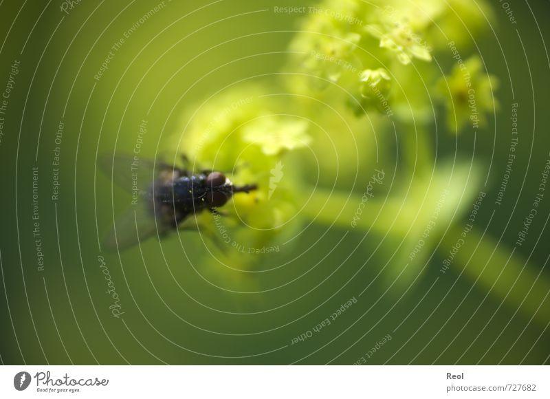 Eine Fliege Natur grün Pflanze Blume Tier Wiese Garten fliegen Arbeit & Erwerbstätigkeit Wildtier Insekt fangen Fressen frech fliegend