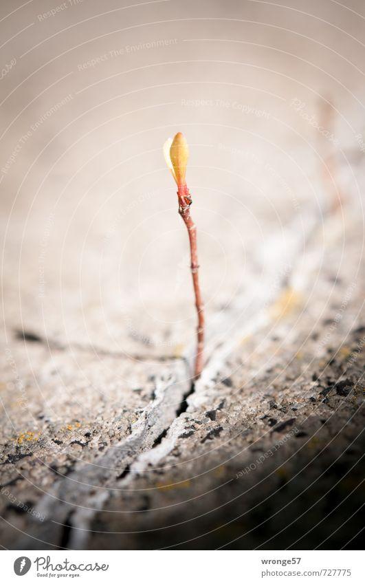 Betonspross Pflanze Frühling Baum klein braun Baumschössling Trieb Jungpflanze Makroaufnahme Betonriss Farbfoto Gedeckte Farben Außenaufnahme Nahaufnahme