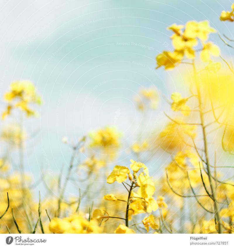 gelb Natur Pflanze Himmel (Jenseits) gelb Blüte Wiese Feld Wachstum Blühend verblüht Raps