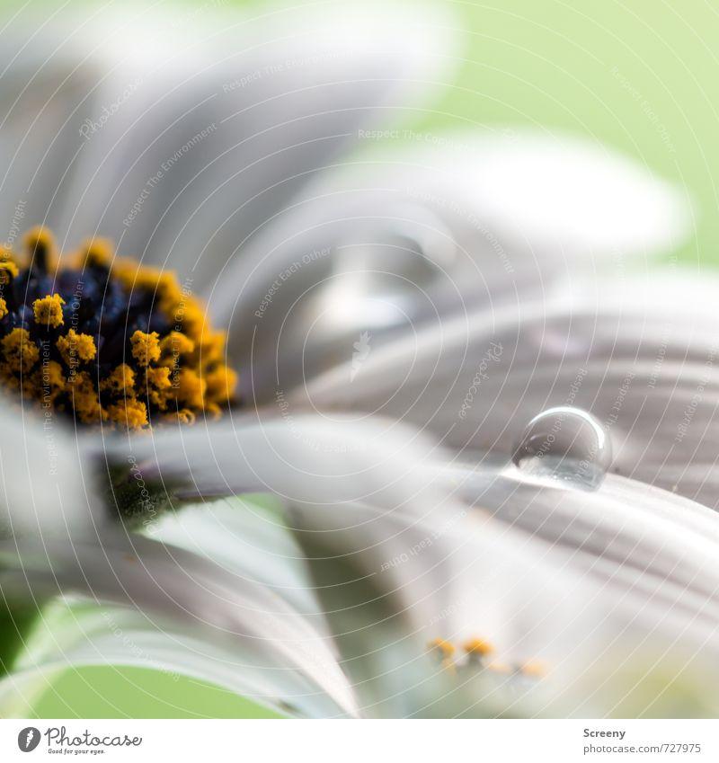 Klarheit Natur Wasser Pflanze Blume Blüte glänzend elegant nass Wassertropfen weich rund zart Flüssigkeit sensibel Blütenstempel