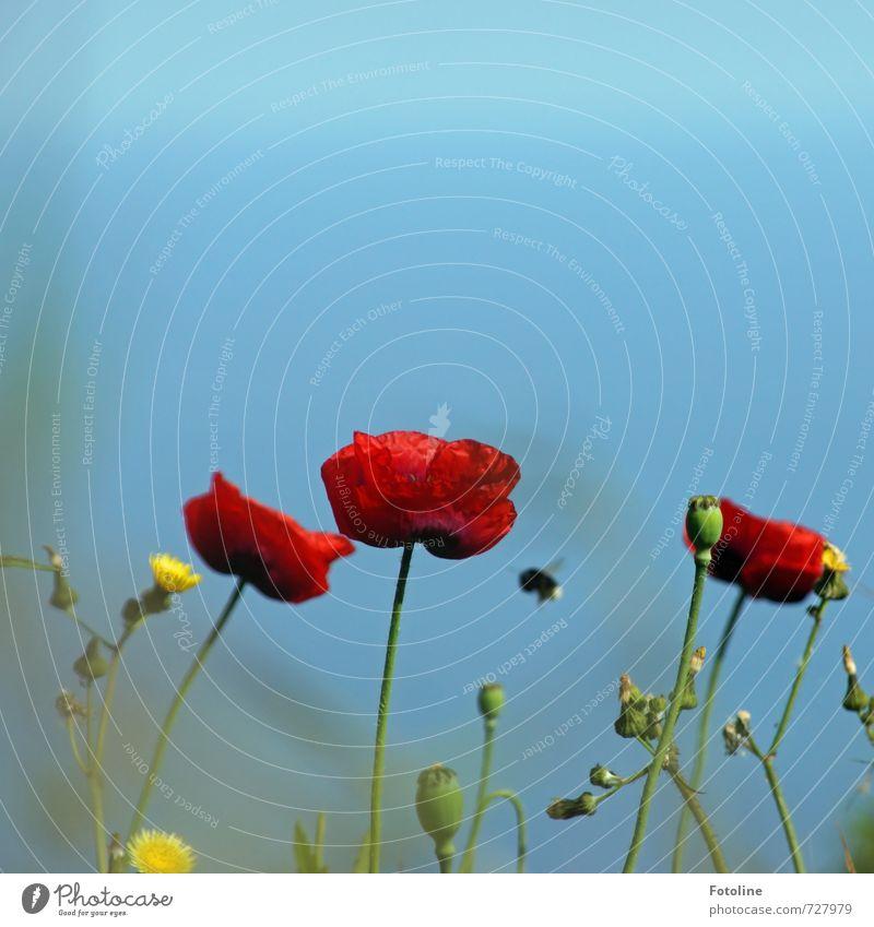 Bssssssssss Umwelt Natur Pflanze Tier Himmel Wolkenloser Himmel Sommer Schönes Wetter Blume Blüte Wildtier 1 hell nah Wärme blau gelb grün rot Hummel Mohn
