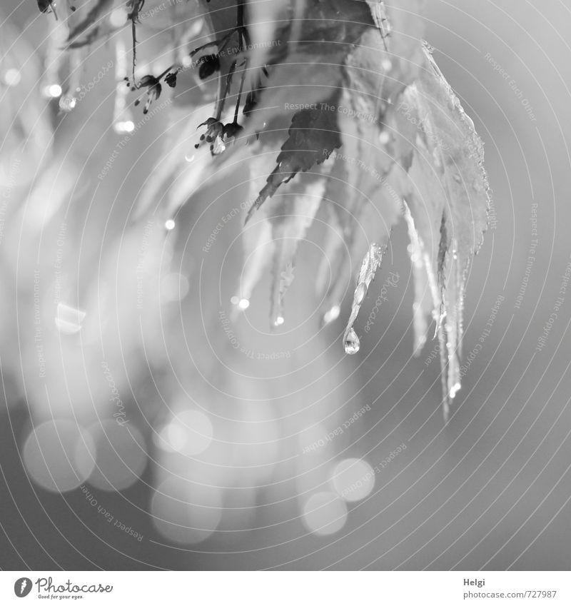 Melancholie... Natur weiß Pflanze Baum Blatt schwarz Umwelt Traurigkeit Frühling Blüte grau natürlich außergewöhnlich Garten Stimmung glänzend