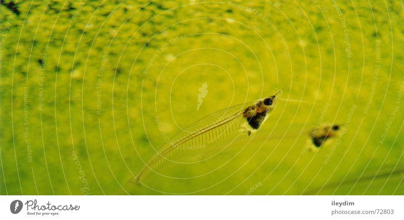 Durchblick Wasser grün Tierpaar Glas Fisch paarweise tauchen Klarheit durchsichtig Aquarium Algen Wels