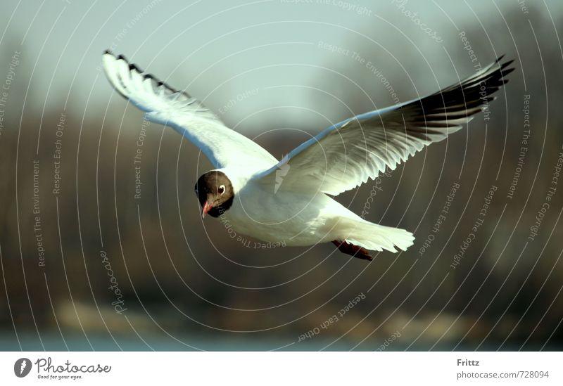 Aufklärungsflug Natur Tier Wildtier Vogel Flügel Schwarzkopfmöwe Möwe 1 beobachten fliegen nah schwarz weiß Neugier weißer Vogel mit schwarzem Kopf