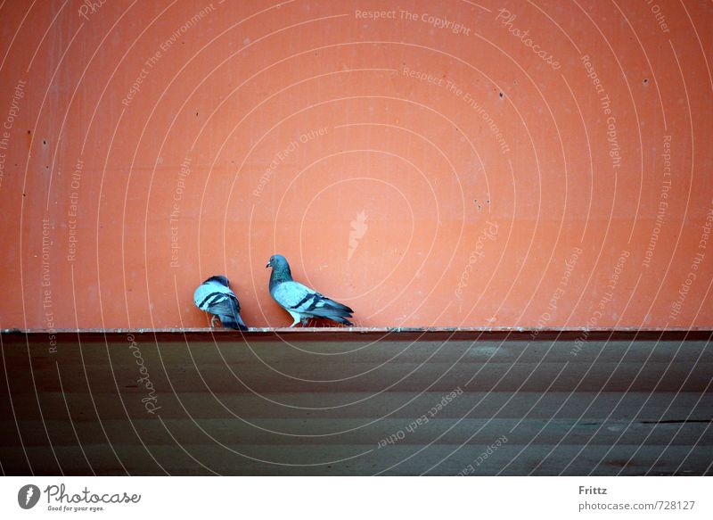 Flirt Natur blau rot Tier Wand Gefühle Mauer grau Vogel Wildtier Tierpaar Flügel Verliebtheit Taube Sympathie Brunft