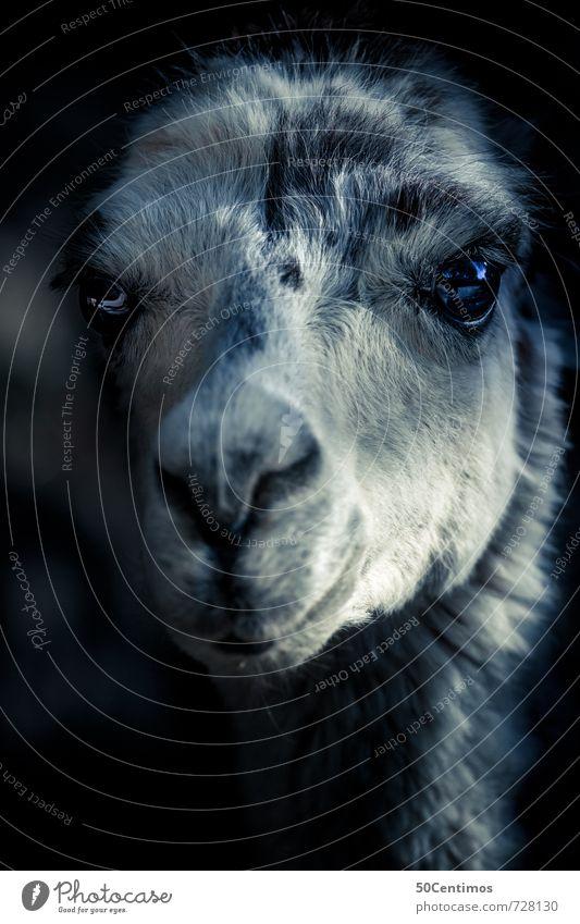 Das Lama Zoo Tier Alpaka 1 elegant Gefühle Farbfoto Gedeckte Farben Licht Schatten Kontrast Blick nach vorn