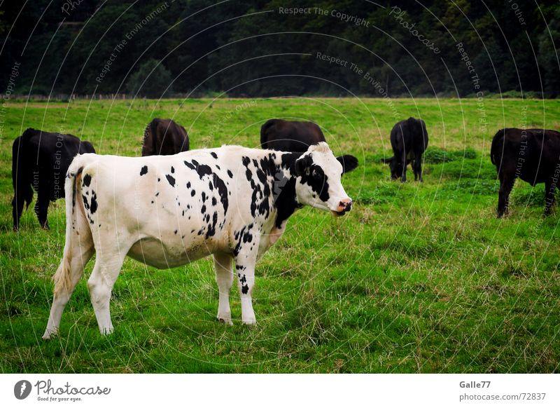 Außenseiter weiß Einsamkeit Wiese Gras Kuh Fleck Rind Tier umzingeln