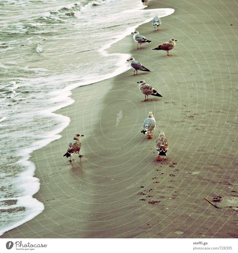 auf Patrouille Natur Wellen Küste Strand Nordsee Ostsee Meer Tier Wildtier Vogel Tiergruppe Schwarm beobachten entdecken warten Zusammensein maritim Neugier