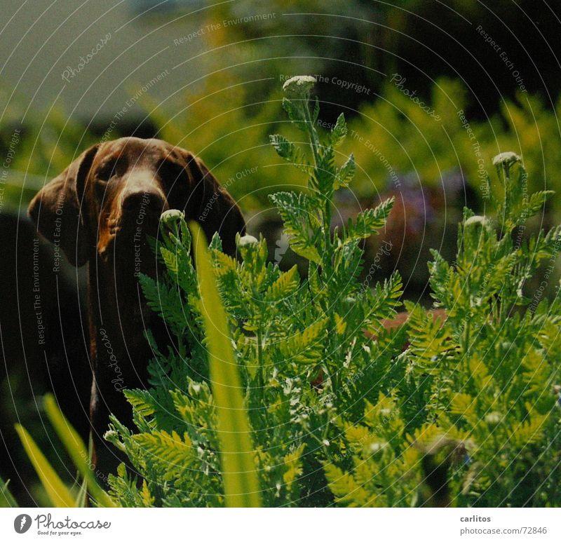 der ECHTE carlitos Hund Garten Gesundheit verstecken Hippie erschrecken Dobermann Flowerpower