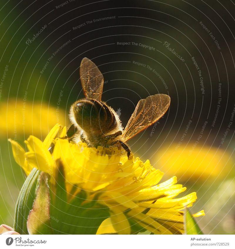 Biene Natur Pflanze Tier Frühling Sommer Schönes Wetter Gras Blüte Garten Park Wiese Nutztier fliegen sitzen Duft gelb grün Farbfoto Außenaufnahme