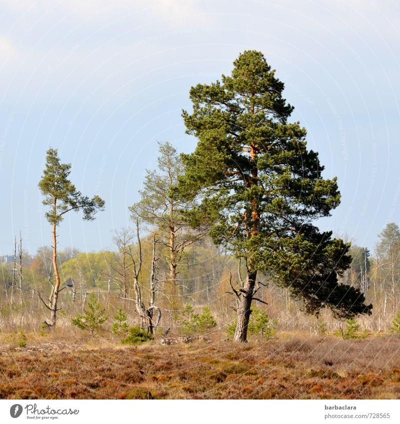 bodenständig | im Moor Natur Landschaft Pflanze Erde Himmel Sonnenlicht Baum Sträucher Moos Wald stehen Wachstum Klima Kraft nachhaltig ruhig Umwelt Ferne