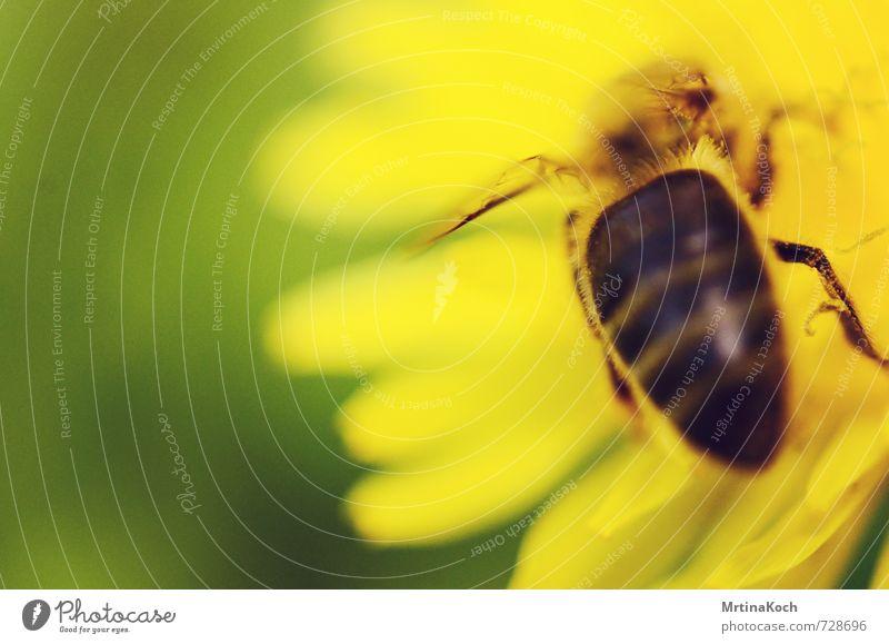 biene maja. Natur grün Pflanze Sommer Blume Blatt Tier gelb Umwelt Frühling Blüte Aktion Wildtier Schönes Wetter bedrohlich Flügel