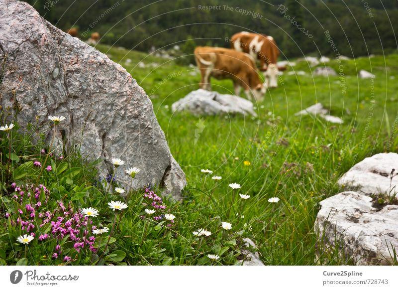 Almwiese Natur Pflanze Tier Frühling Blume Wiese Felsen Berge u. Gebirge Nutztier Kuh Fell 2 Herde Tierpaar Zufriedenheit Gänseblümchen violett Stein Kuhfell