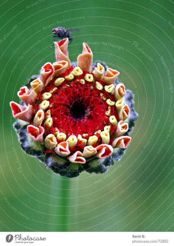 du störst Blüte Blütenblatt Blühend Blume Pflanze Herbst mehrfarbig rot grün zart Fliege Blütenknospen Natur taufrisch mädchenhaft blöde fliege
