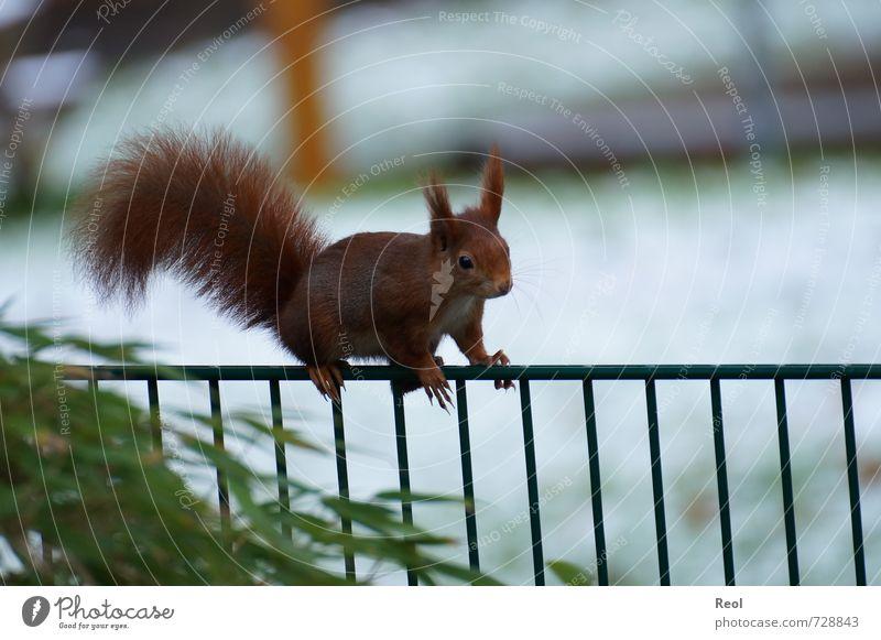 Kletterkünstler grün weiß Tier Wald braun Garten Park elegant Wildtier beobachten niedlich Abenteuer Klettern Zaun Eichhörnchen Nagetiere