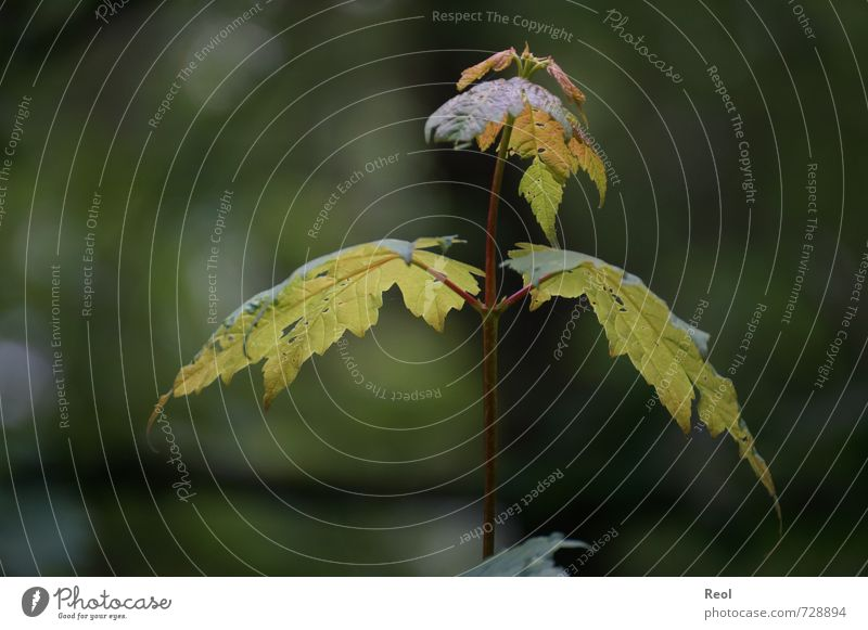 Waldleben Umwelt Natur Pflanze Frühling Klima Schönes Wetter Baum Wildpflanze Ahornblatt Ahornbaum Garten Park Laubwald Blühend Wachstum wandern braun grün