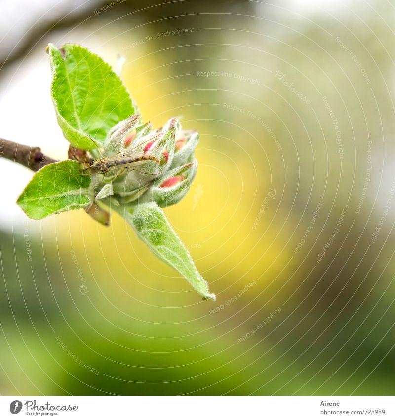 AST 7 | Freund oder Feind Pflanze Tier Frühling Baum Blatt Blüte Nutzpflanze Apfelbaum Apfelblüte Blütenknospen Obstbaum Garten Streuwiese Obstplantage Insekt