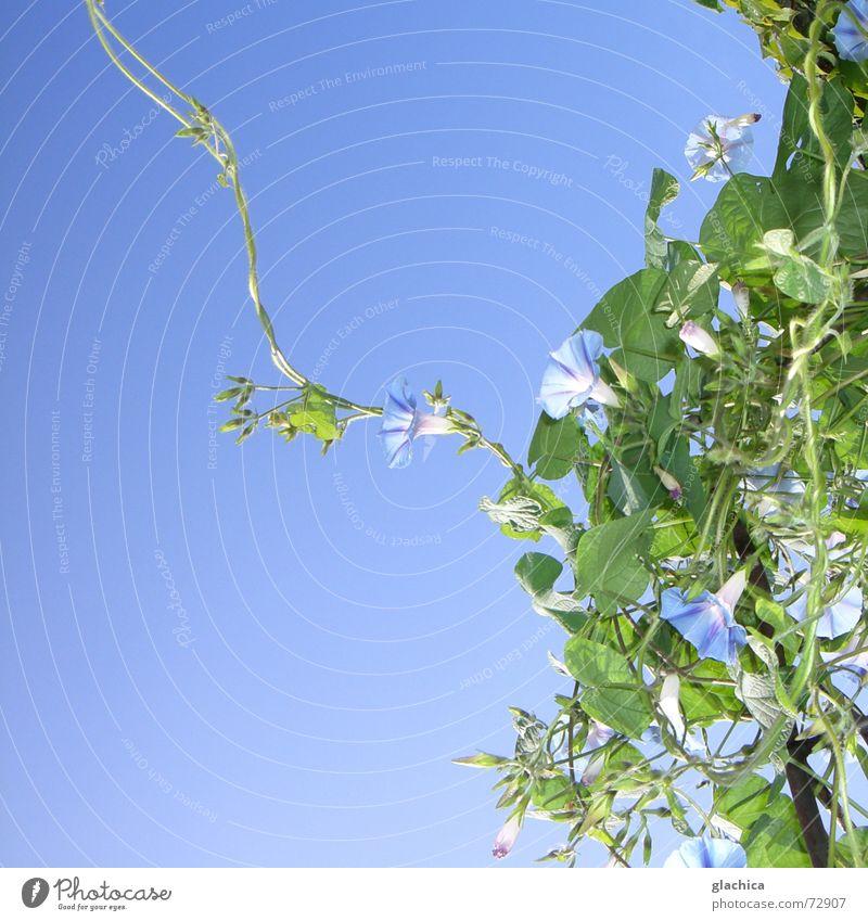 Letzte Sommertage III violett zart Kletterpflanzen Blume Blüte schön Pflanze Herbst Horizont grün Mut Zärtlichkeiten Blatt blau Himmel Klettern Schlaufe Wind