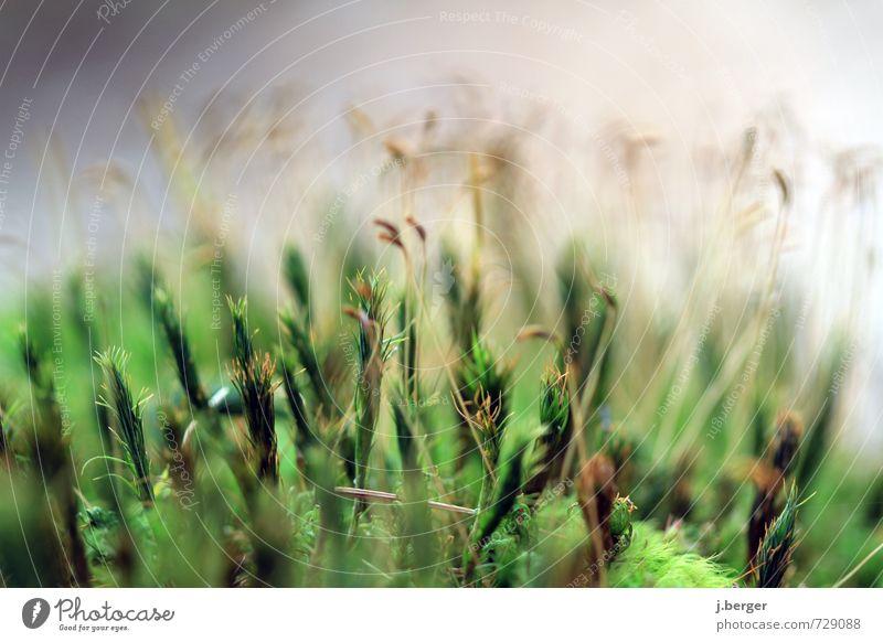 grünzeug Umwelt Natur Pflanze Frühling Sommer Gras Wildpflanze braun Moos Moosteppich Botanik Farbfoto Gedeckte Farben Außenaufnahme Nahaufnahme Detailaufnahme