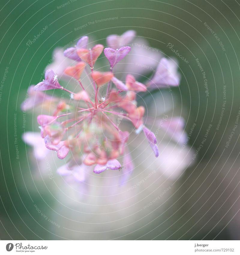 herzlich Natur Pflanze Frühling Sommer Blume Blatt Blüte Wildpflanze exotisch ästhetisch außergewöhnlich Duft violett rosa Herz Liebe herzförmig Doldenblüte