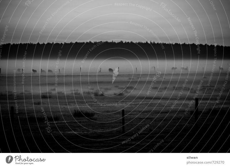 he - wo is mein Futter ... oder weiden im Nebel Landschaft Frühling schlechtes Wetter Gras Sträucher Moos Feld Wald ästhetisch kalt trist grau schwarz weiß