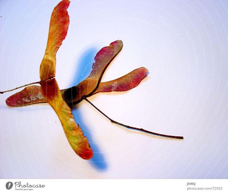 Flugschule Pflanze Herbst braun fliegen Wachstum drehen Jahreszeiten Samen Ahorn Freisteller flattern