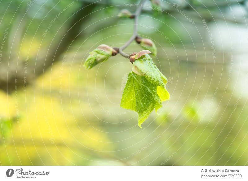 AST 7 - der Beginn Umwelt Natur Pflanze Frühling Schönes Wetter Baum Garten Park Wald Wachstum natürlich gelb grün aufwachen Blütenknospen frühlingshaft