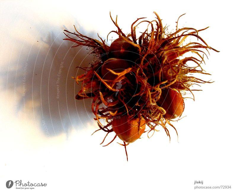 Eichhörnchenfutta Baum Herbst Ernährung Lebensmittel braun fallen Schmerz Ernte Futter Nuss September Nut Haselnuss