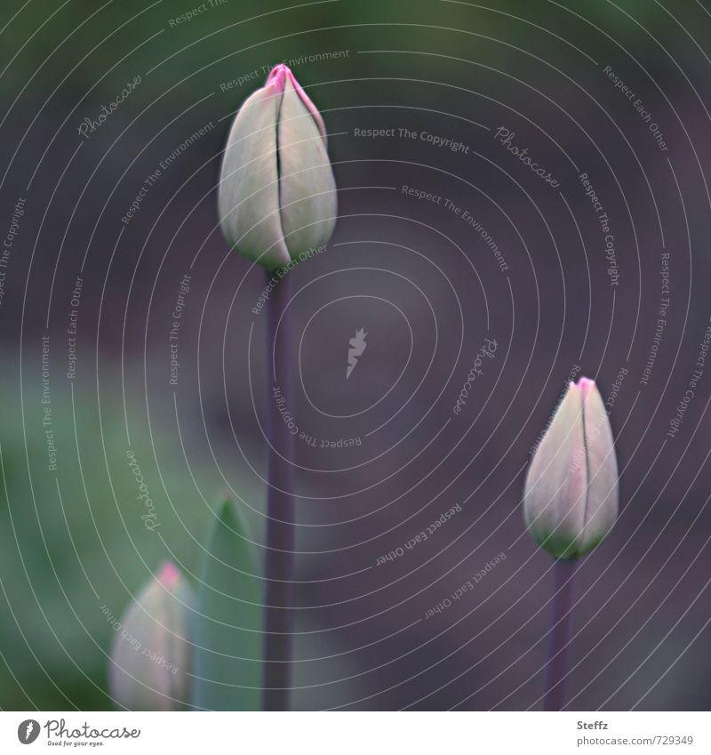 vor der Premiere Natur Pflanze Frühling Blume Tulpe Blütenknospen Frühlingsblume Garten Park elegant natürlich schön Frühlingsgefühle Vorfreude geheimnisvoll