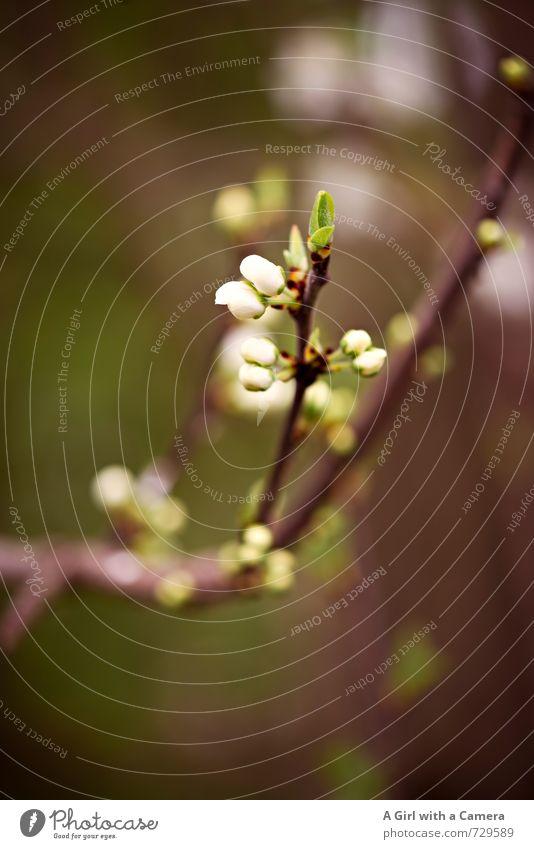 AST 7 I es wird Umwelt Natur Pflanze Frühling Blüte Garten Park Blühend Wachstum frisch natürlich neu Blütenknospen Gedeckte Farben Außenaufnahme Nahaufnahme