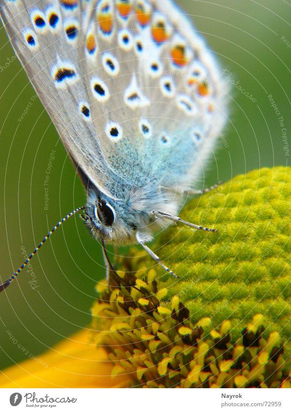 Bläuling auf Blüte Schmetterling Blume Bläulinge Insekt Makroaufnahme Staubfäden Natur Nektar Nahaufnahme