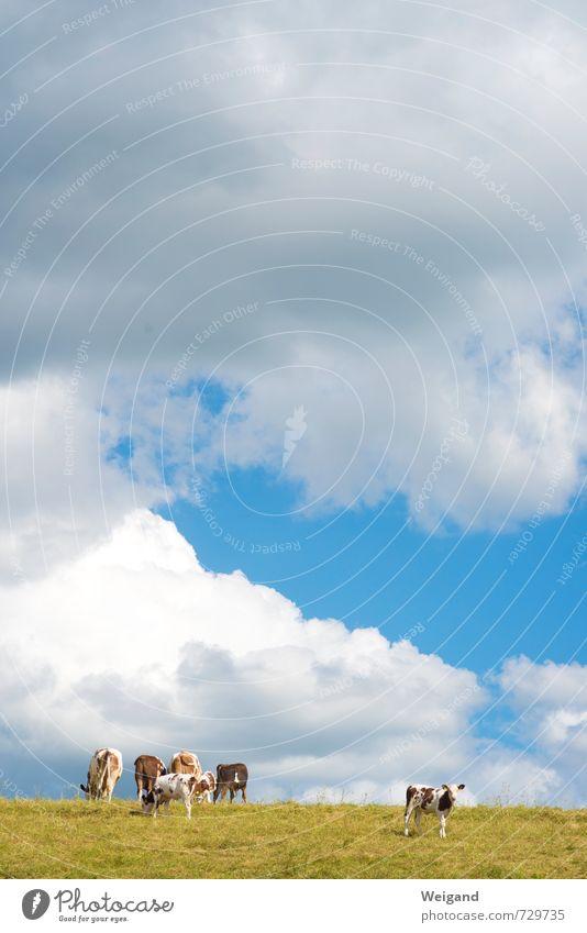 Textfreiraum oben Fleisch Wurstwaren Milcherzeugnisse beobachten stehen Kuh Weide Bioprodukte Kalb Bauernhof Himmel (Jenseits) Rind Wolken Landwirtschaft Wiese