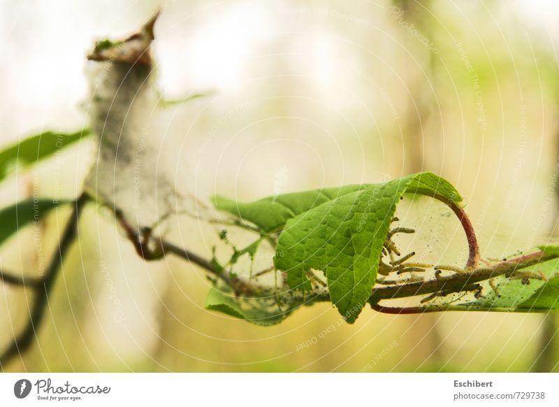 K(l)eine Spinner?! Natur Pflanze Sonne Blatt ruhig Tier Leben Frühling Gefühle klein authentisch Sträucher Erfolg ästhetisch bedrohlich Vergänglichkeit