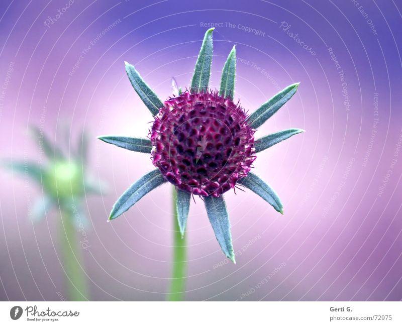 °dream°dream°dream° träumen traumhaft violett Fliederbusch Blume Pflanze mehrfarbig grün Stengel Herbst weich zart Illusion aus der traum träume sind schäume
