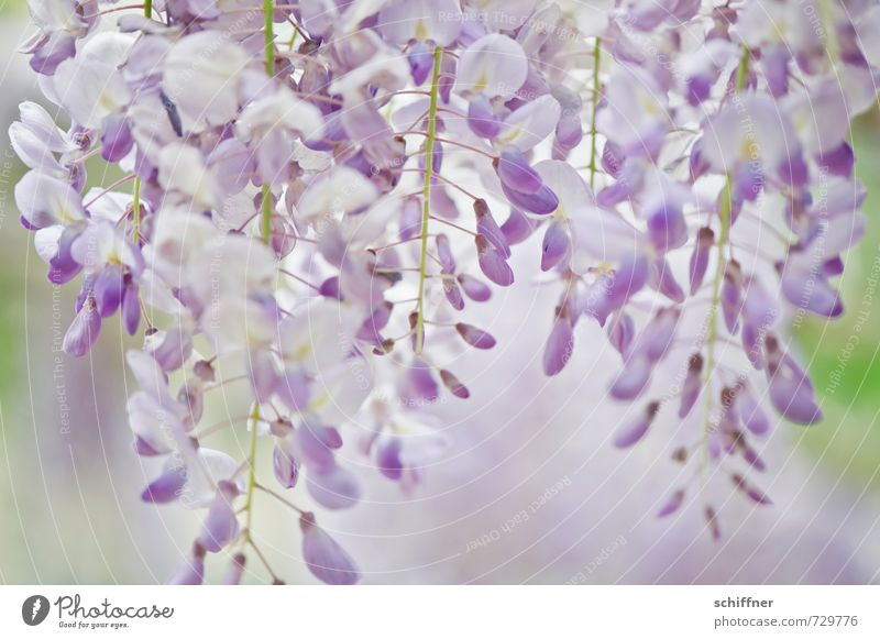 Blau-lila Schwäche Umwelt Natur Pflanze Baum Blume Sträucher Blatt Blüte blau violett Blütenknospen Blütenblatt Blütenpflanze Blütenstauden Blütenkette