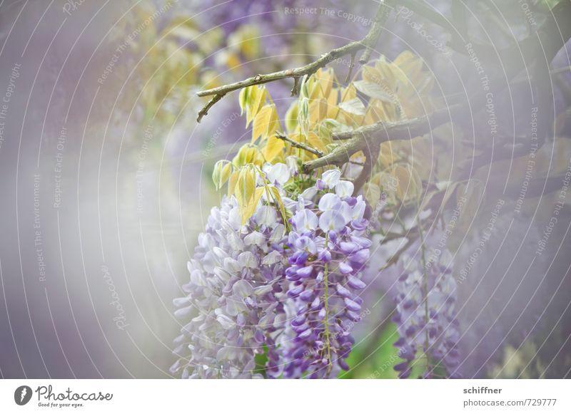 Zwischendurch Umwelt Natur Pflanze Frühling Baum Blume Blüte Garten Park blau violett durchsichtig Durchblick durchscheinend zart Pastellton Glyzinie Sträucher