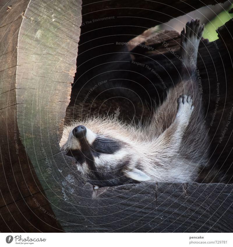 schlaflabor Tier Wildtier Zoo Waschbär 1 Teddybär Holz genießen hängen schaukeln schlafen Häusliches Leben Coolness Freundlichkeit klug Wärme Glück