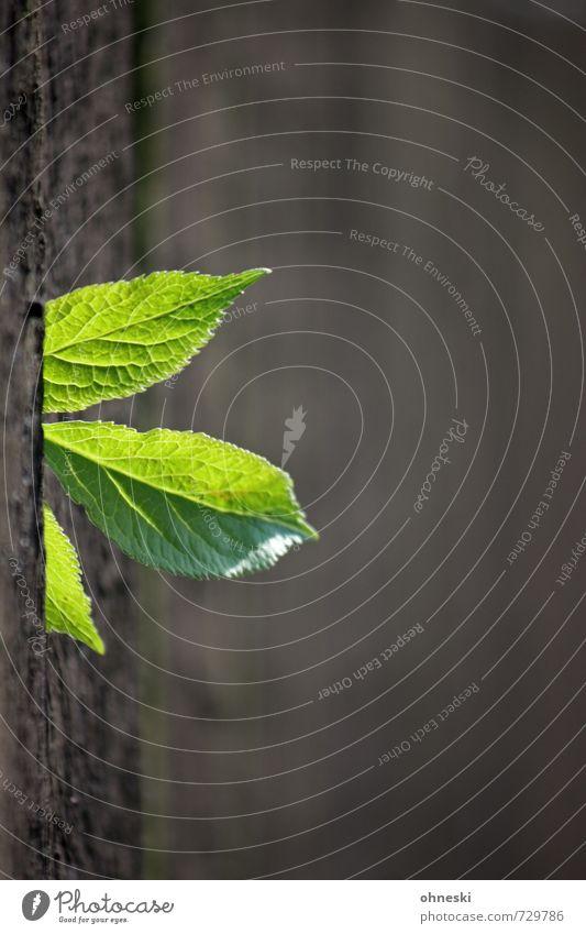Durchbruch Frühling Pflanze Blatt Grünpflanze Zaun Holz natürlich grün Hoffnung Leben Farbfoto Außenaufnahme Menschenleer Textfreiraum rechts Textfreiraum oben