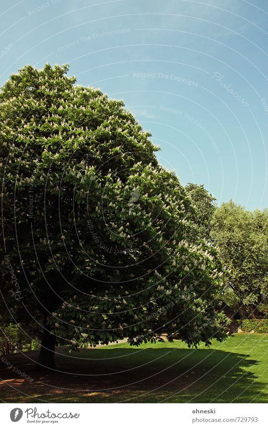Kastanie Wolkenloser Himmel Frühling Schönes Wetter Baum Blüte Kastanienbaum Park gigantisch grün Frühlingsgefühle Leben Zufriedenheit Kraft Farbfoto