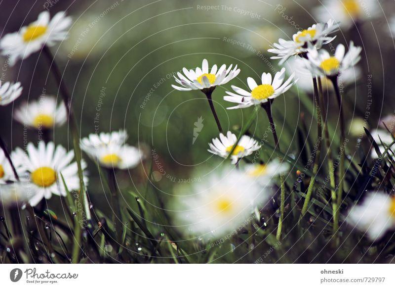 Wachstum Frühling Blume Gras Gänseblümchen Wiese Glück Lebensfreude Frühlingsgefühle Leichtigkeit Farbfoto Außenaufnahme Nahaufnahme Textfreiraum oben Tag