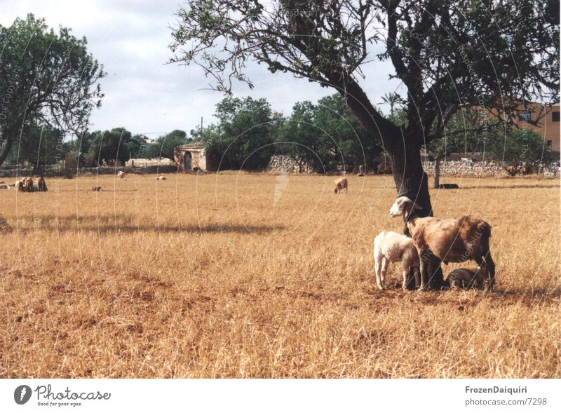 Hundstage Mallorca Schaf Physik heiß Dürre braun rot Wärme Sonne Schatten