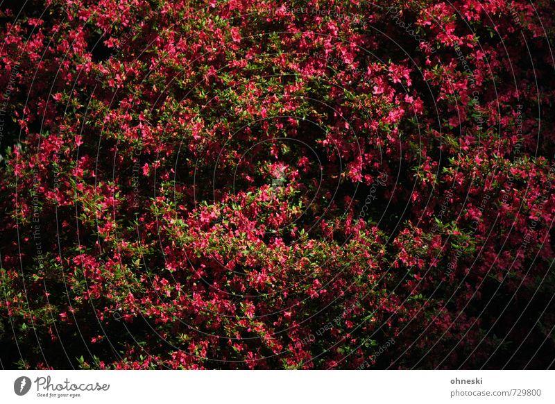 Bush Pflanze Frühling Blume Sträucher Blüte rosa Lebensfreude Frühlingsgefühle Glück Hoffnung Natur Farbfoto mehrfarbig Außenaufnahme Strukturen & Formen Tag