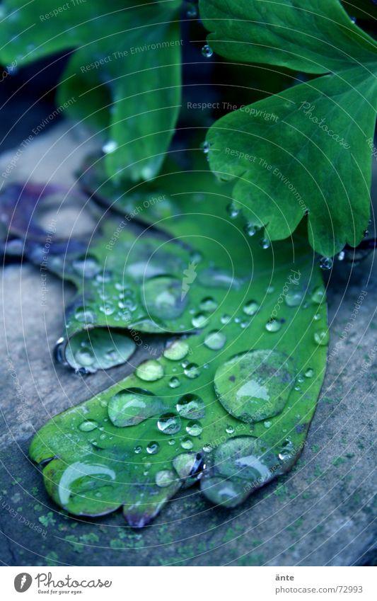 plattgetropft hydrophob Wassertropfen Reflexion & Spiegelung Blatt Pflanze nass feucht frisch Morgen Leben Natur Pflanzenteile behutsam Makroaufnahme Botanik