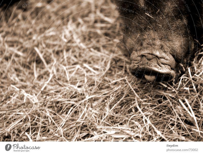 Schnäuzchen Natur Tier dunkel Glück braun dreckig Hinterteil Zoo Haustier Läufer Schwein füttern Schnauze Stroh Futter teuer